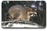 Stern-Raccoon