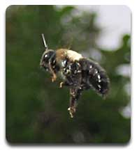 carpenter-bee-1