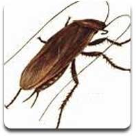 stern cockroach