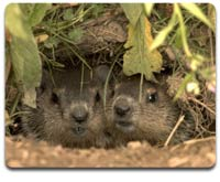 National Geographic Uncovers the Secret Life of Groundhogs