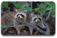 Raccoons - A Real Problem for New Jersey Residents