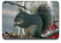Facts About the Eastern Grey Squirrel