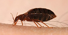The Problem With Finding Bedbugs