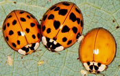 Cornell University Launches Lost Ladybug Project