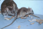 norway-rats