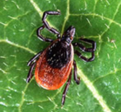 NJ Ticks Carry Pathogens