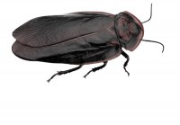 Call Stern Environmental for Cockroach Control!