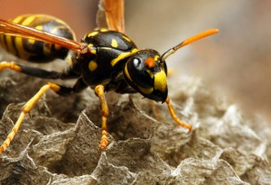 How do Hornets Differ from Wasps?