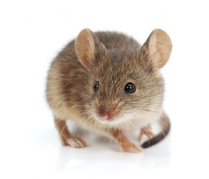 What Does a Mouse Infestation Smell Like?