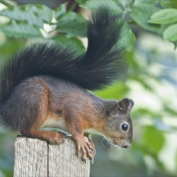 Lookout Squirrels Can Have Lime Disease