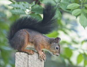 Squirrels and Other Wildlife Can Destroy Your Attic