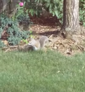 NJ Squirrel Removal Archives | Sterns Chatter
