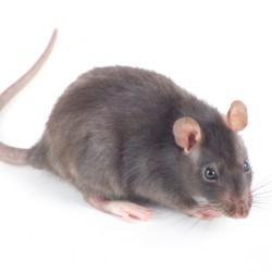 NYC Rats