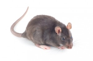 Rats Can Indirectly Carry 15 Different Kinds of Diseases