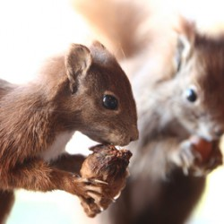 Squirrels, Not Mice are Moving In