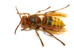 Identifying Hornets and Their Nests Can Help Reduce Stings.