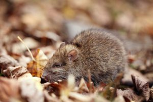 What Diseases Are Directly Transmitted by Rats and Mice?