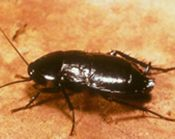 We Help You to Recognize the Differences in Cockroach Types.
