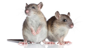 Rodents: Diseases They Carry and Can Transmit to Humans