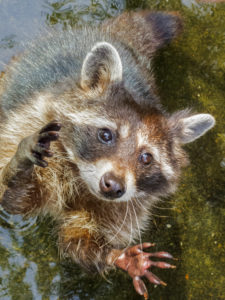 Get the Facts on Raccoons and Why They Love to Move Into Your Attic