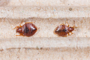 Research Shows that Bed Bugs Can now Transmit Diseases Like Chagas Disease.