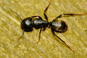 Carpenter Ants Cause Damage to Your Building Structure