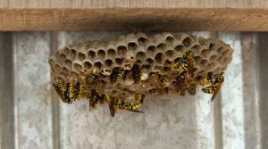 Mild Winters Are Causing Super Wasp Nests -- Get Them Removed Today!