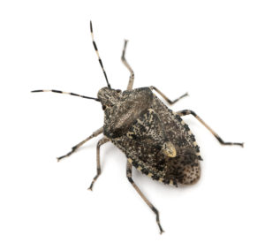 We Can Help You Remove Stinkbugs!
